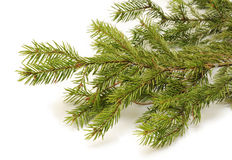 Spruce branch Stock Images