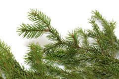 Spruce branch Stock Photos