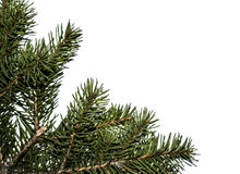 Spruce branch on a white background. For postcard or background Royalty Free Stock Images
