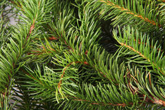 Spruce branches Stock Photos