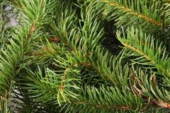 Spruce branches Stock Photos