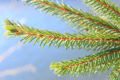 The spruce branches Royalty Free Stock Photos