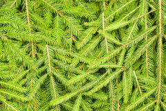 Spruce branches Royalty Free Stock Photos