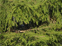Spruce branches. Detail outdoors in daylight Royalty Free Stock Images
