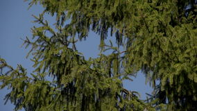 The spruce branches against the blue sky. The first spring gentle leaves, buds and branches macro background stock video