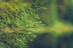 Spruce Branches Background Royalty Free Stock Photos
