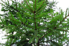 The spruce branches Royalty Free Stock Image