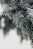 The spruce branches! Stock Image