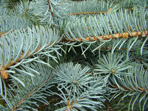 The spruce branches Stock Image