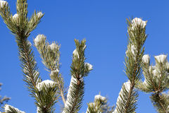 Spruce branches, close-up Royalty Free Stock Photo