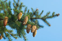 Spruce branches with cones Stock Image