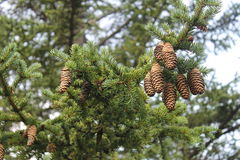 Spruce branches with cones Royalty Free Stock Photos