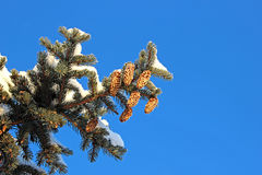 Spruce branches with cones Stock Photos