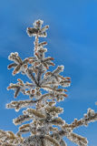 Spruce branches with cones on a background of the sky Royalty Free Stock Image