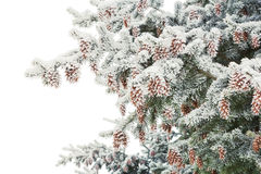 The spruce branches with cones Royalty Free Stock Photography