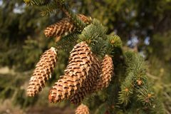 Spruce branches with cones Royalty Free Stock Photography