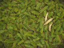Spruce branches and cones. Green spruce branches and three points lie on the ground Royalty Free Stock Image