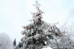 Spruce branches with cones Royalty Free Stock Photo