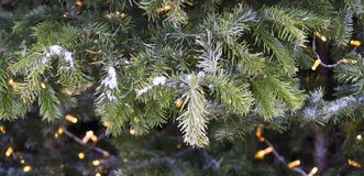 Spruce branches covered with fresh snow. background, nature. Royalty Free Stock Image