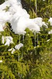 Spruce branches are covered with ice and snow stock photos