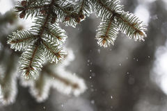 Spruce branches covered with snow Stock Photo
