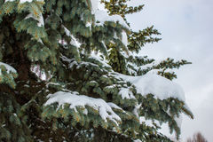 The spruce branches Stock Photography