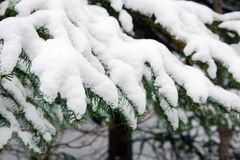 Spruce branches covered with snow Stock Photos