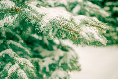Spruce branches covered with snow close-up Royalty Free Stock Photos