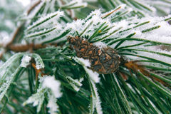 Spruce branches covered with snow with a lump in woods Royalty Free Stock Image