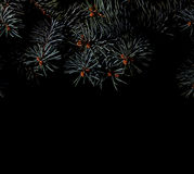 Spruce branches on dark black background Stock Image
