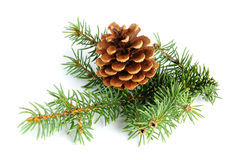 Spruce branches with fir cone Royalty Free Stock Photo