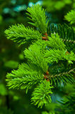 Spruce branches. The fir-tree grew young branches Royalty Free Stock Images