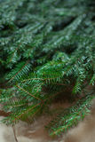Spruce branches Royalty Free Stock Image