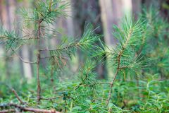 Spruce branches in the grass on the background of the forest