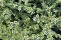 Spruce branches on a green background.The blue spruce, green spr. Uce, white spruce Royalty Free Stock Photography