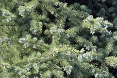 Spruce branches on a green background.The blue spruce, green spr. Uce, white spruce Royalty Free Stock Images