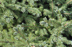 Spruce branches on a green background. The blue spruce, green. Spruce branches on a green background.The blue spruce, green spruce, white spruce Stock Photos