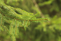 Spruce branches Royalty Free Stock Photo