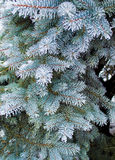 Spruce branches in hoarfrost Royalty Free Stock Images