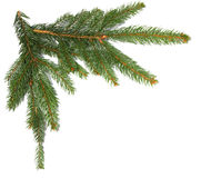 Spruce branches isolated on white. Background Royalty Free Stock Images
