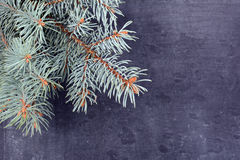 The spruce branches lying on the chalkboard. Christmas tree black background. New Year. Stock Image