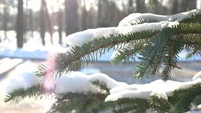 Spruce branches macro. Snow on the tree sunlight stock video