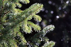 Spruce Branches and needles with water drops after rain Stock Images