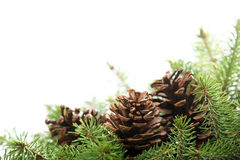 Spruce branches with pine cones Royalty Free Stock Photo