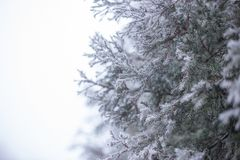 Spruce branches with place for text. Frost on a close-up branch. Christmas Holidays Background royalty free stock photography
