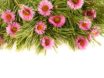Spruce branches and purple flowers. On a white background Royalty Free Stock Images