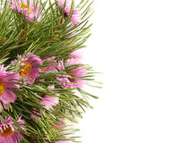 Spruce branches and purple flowers on a white. Background Stock Photo