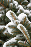 Spruce branches with snow Stock Image