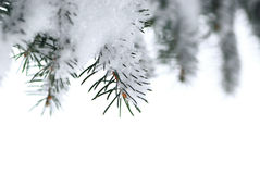 Spruce branches with snow Royalty Free Stock Images