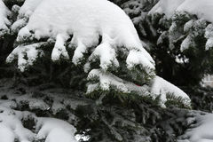 Spruce branches with snow. Royalty Free Stock Photo